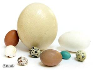 خواص تخم بلدرچین ،بوقلمون ،تخم اردک ،تخم غاز و خواص تخم شتر مرغ