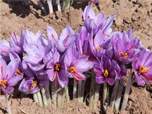 خروج پياز زعفران از کشور ممنوع است