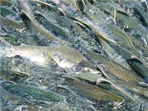 برخورد قانونی با صياد غيرمجاز يک قطعه ماهی آزاد در رودخانه منتهی به دريای خزر