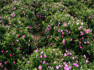 افزايش 40 درصدی کشت گل محمدی در نطنز