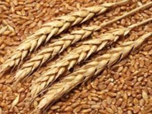 توزيع 600 هزار تن بذر اصلاح شده در بين كشاورزان