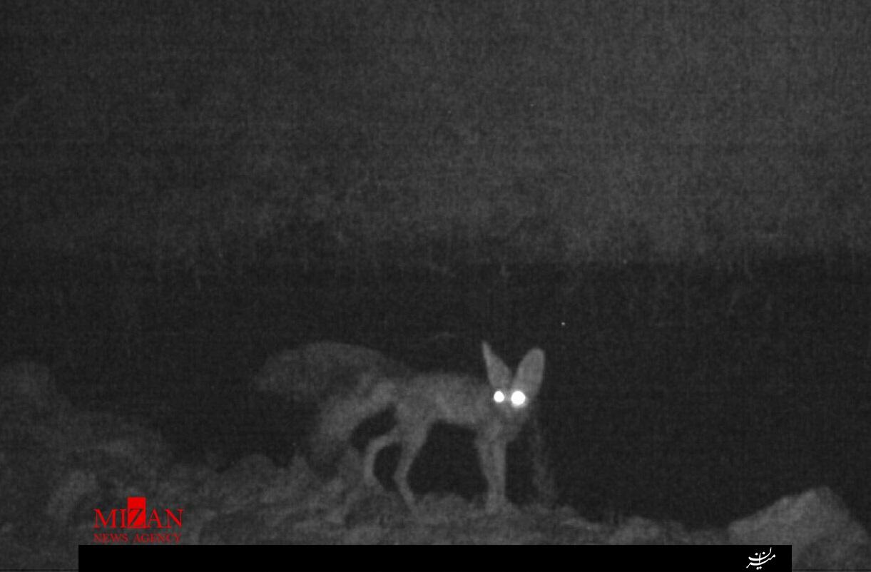شاه روباه در ايلام ديده شد