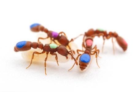 اصلاح ژنتيکي مورچهها!