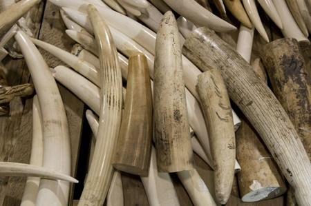 فروش آنلاين حجم زيادي از عاج فيل در ژاپن