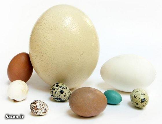 متخصص تغذیه خواص تخم غاز خواص تخم شتر مرغ خواص تخم بوقلمون خواص تخم بلدرچین خواص تخم اردک پرورش غاز اکراینی پرورش شترمرغ پرورش بلدرچین