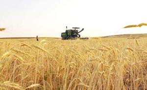 کيفيت گندم توليد داخل نسبت به سال گذشته بهبود يافته است